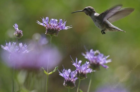 A Hummingbird on Salvia clevelandii, Alpine Cleveland sage or Musk Sage from Las Pilitas Nursery