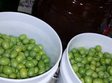 Green ripe olives ready for cracking and curing